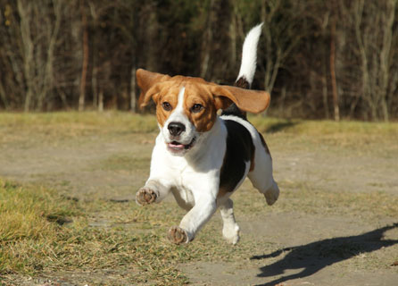 Beagle Leaping With All Four Paws Off The Floor