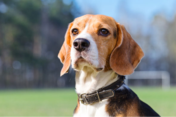 Beagle with A Ball In Its Mouth Followed by Second Beagle
