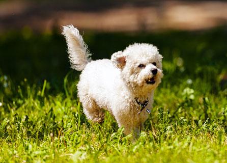 White Bichon Frise Running Through Grass