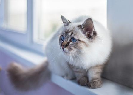 Birman Cat Sitting On A Window Sill