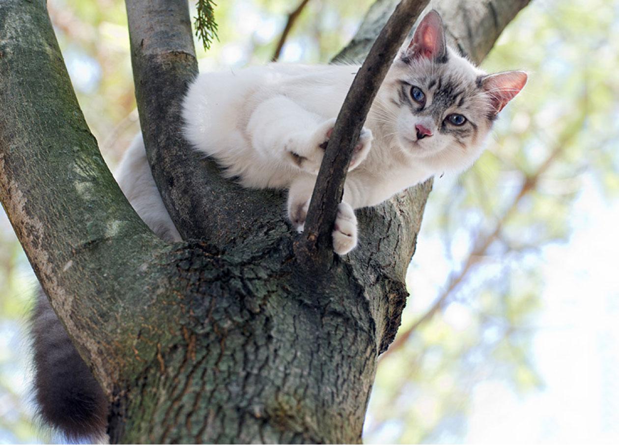 birman cat sitting up a tree