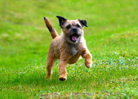 Gleeful Border Terrier Bounds Over Short Grass
