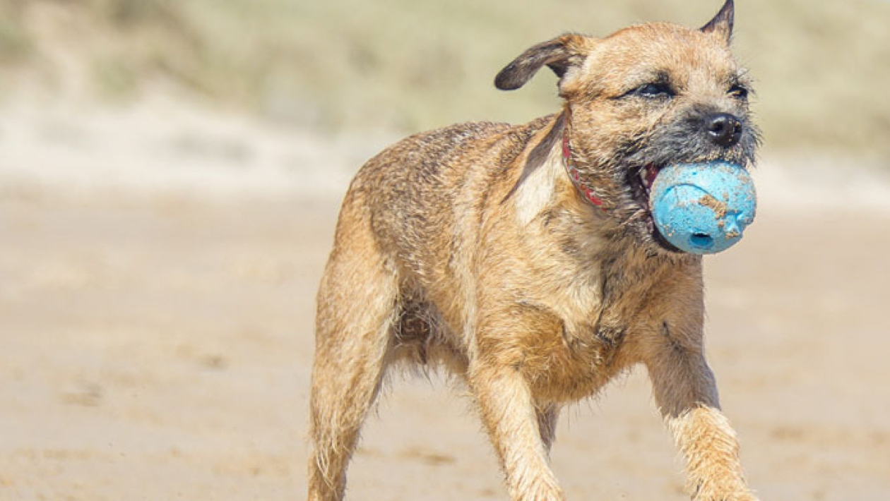 border terrier with a ball in their mouth