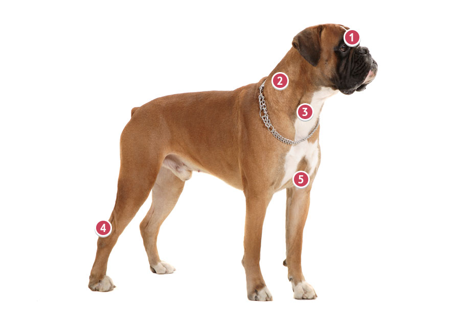 Fawn Coloured Boxer Dog Looking Away