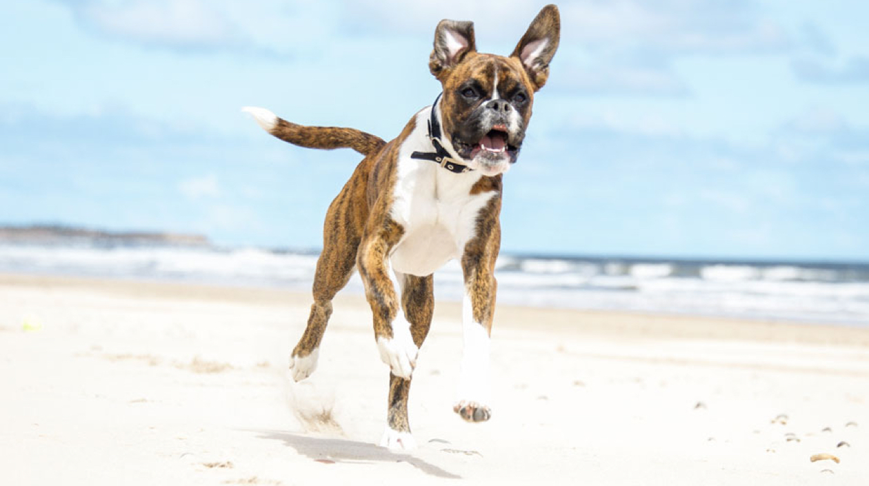 boxer dog running on beach