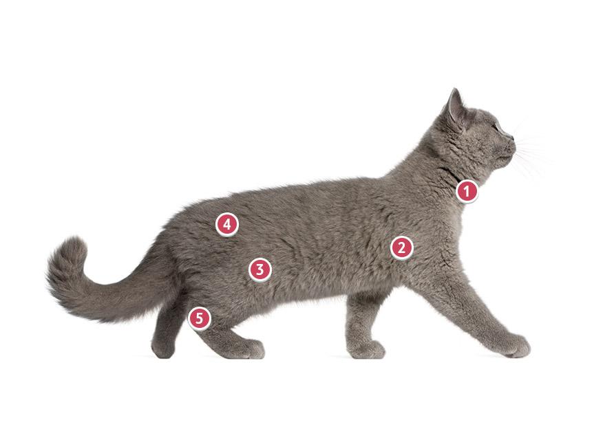 Walking British Short Hair Cat With Blue Fur