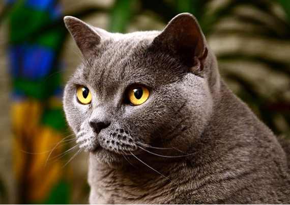 British Shorthair Cat Rolls On Furry Cover