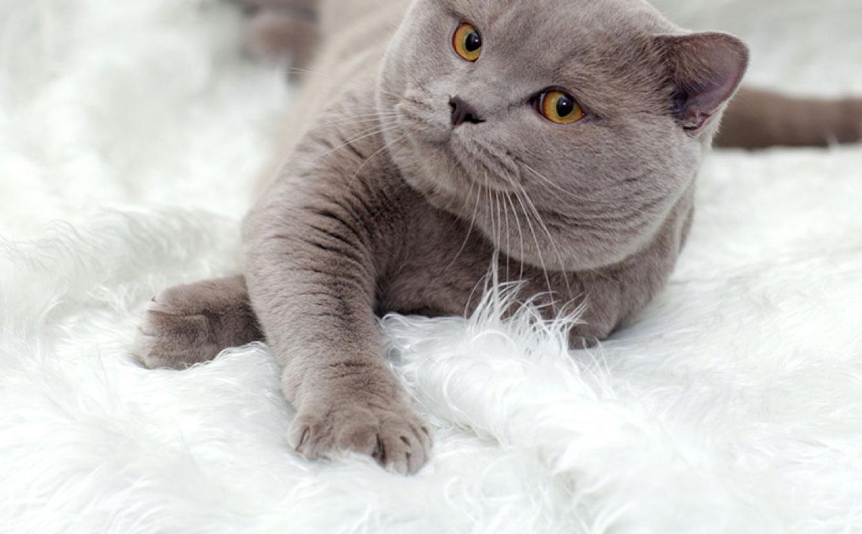 grey british short hair laying on rug