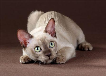 Wide Eyed Burmese Cat Crouching