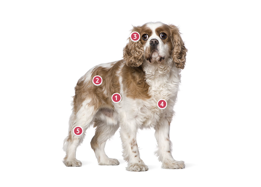 Light Brown And White Cavalier King Charles Spaniel Looking At You