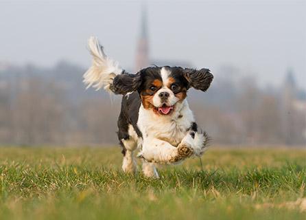 A Cavalier King Charles Spaniel Runs In A Field
