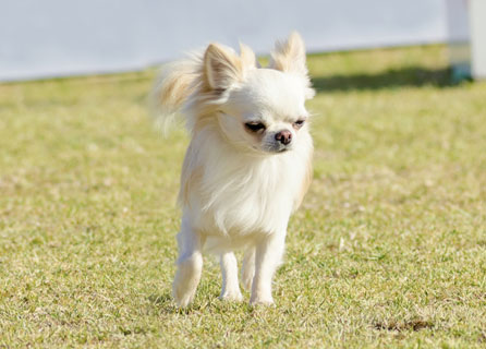 Chihuahua With Raised Paw Stands On A Lawn