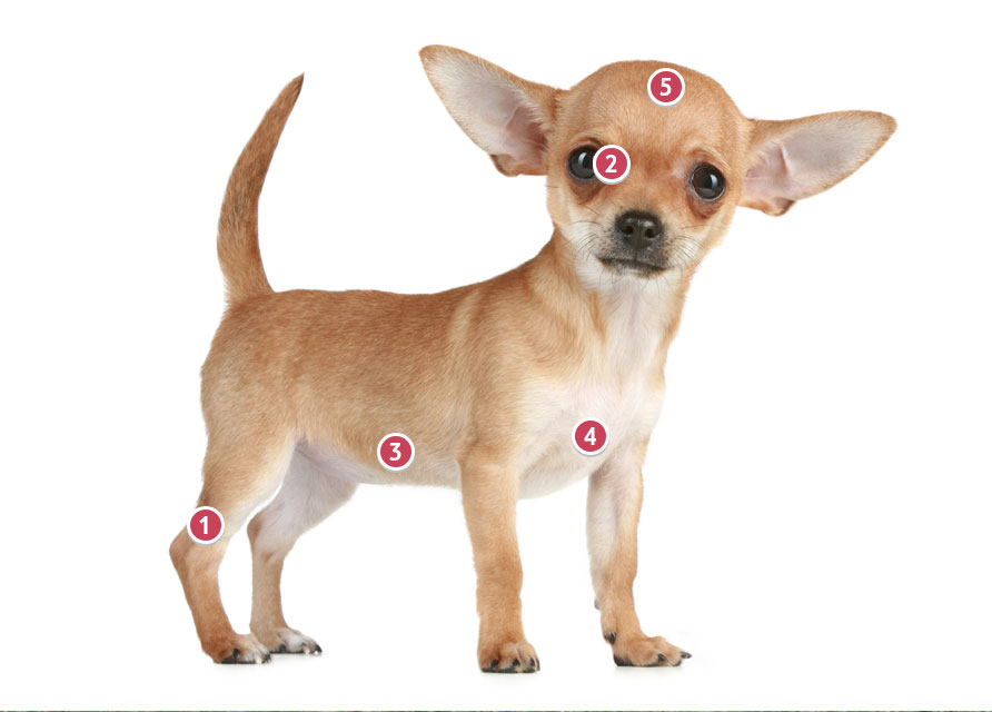 Fawn Coloured Chihuahua Looking Directly At You