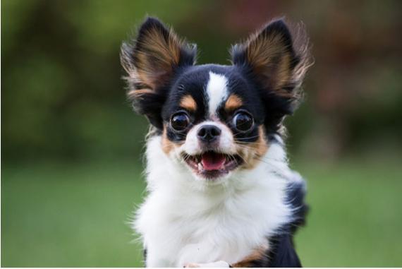 Chihuahua Commencing A Run Through Long Grass