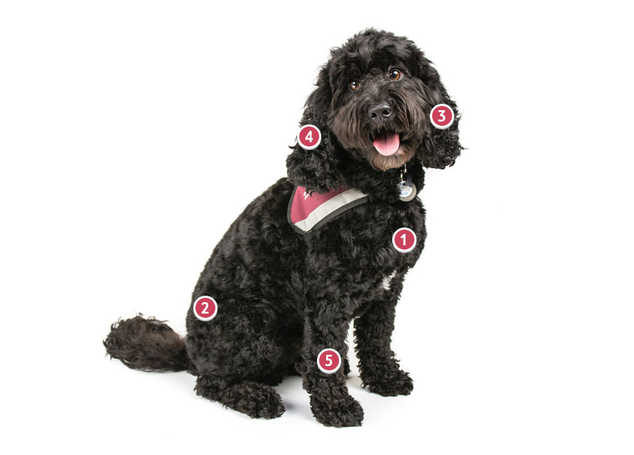 Black Cockapoo Dog Wearing Red Harness Collar