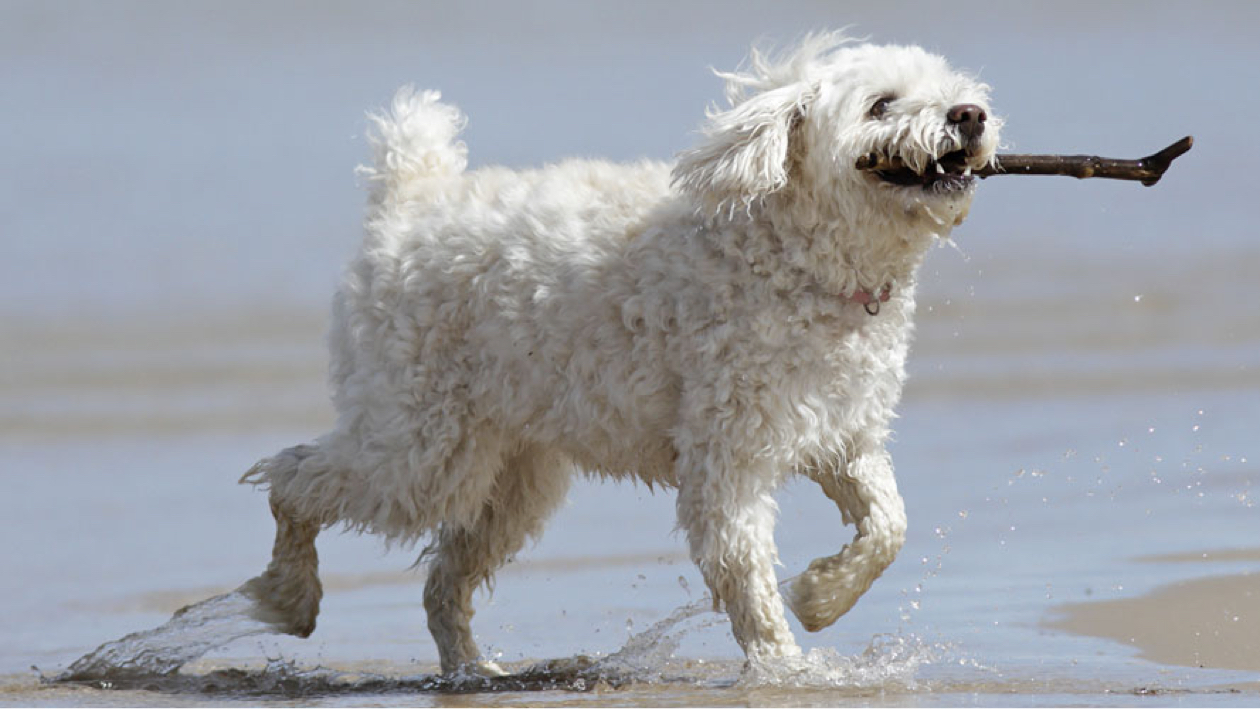 cockapoo at a beach holding a twig in their mouth