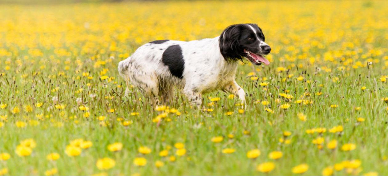 cocker spaniel in field of buttercups