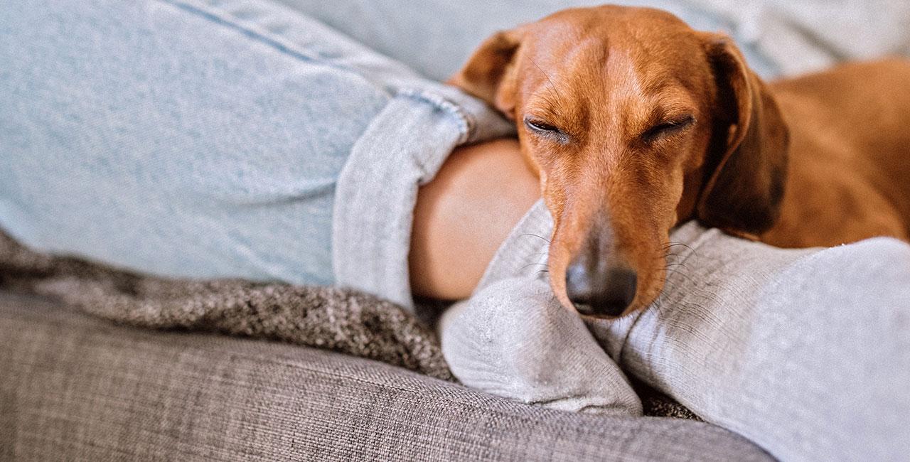 A dachshund asleep on the couch