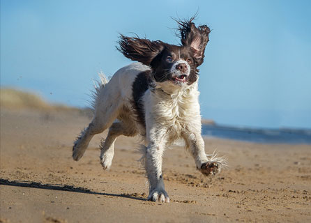 Wet English Springer Spaniel Jogs On The Beach