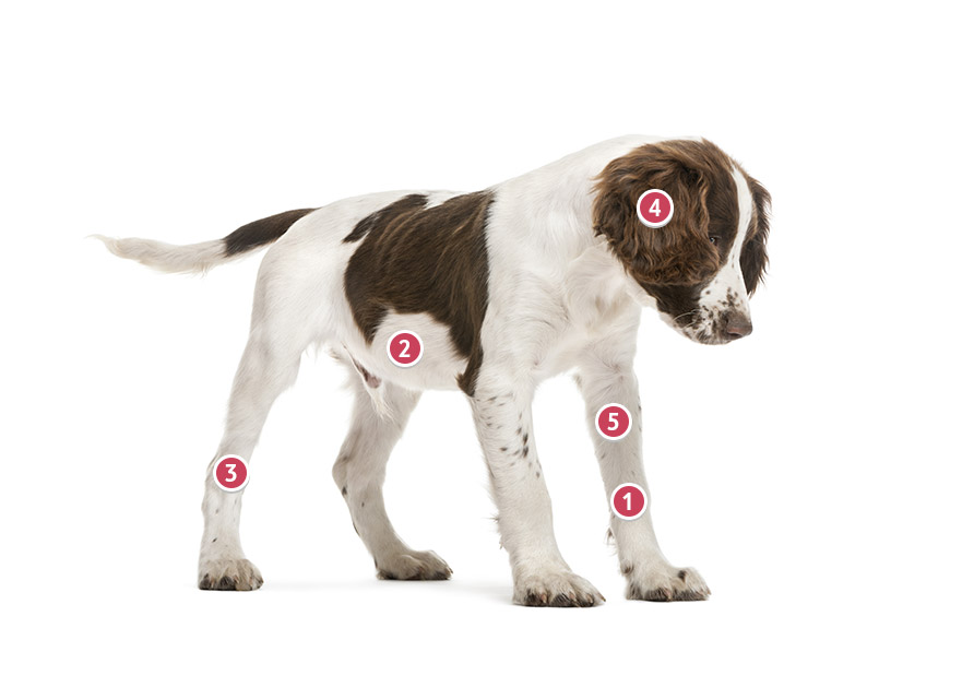 White And Brown English Springer Spaniel Looking Down