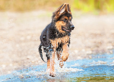 A Wet German Shepherd Puppy Running In Water
