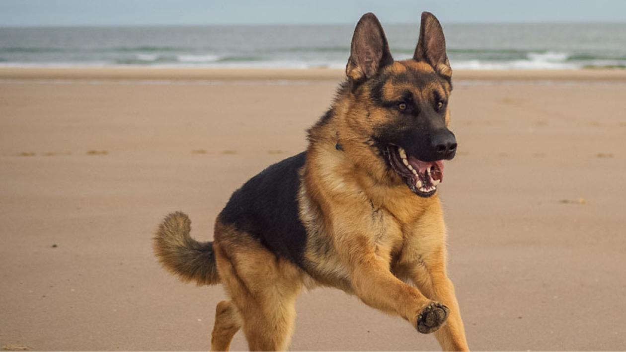 german shepherd running along beach
