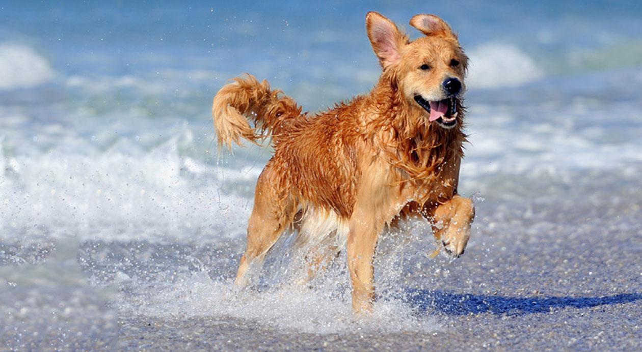 golden Retriever running along beach