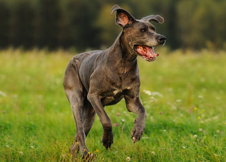 Great Dane Running Through a Field