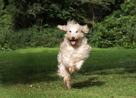 Labradoodle Begins Leap On A Lawn