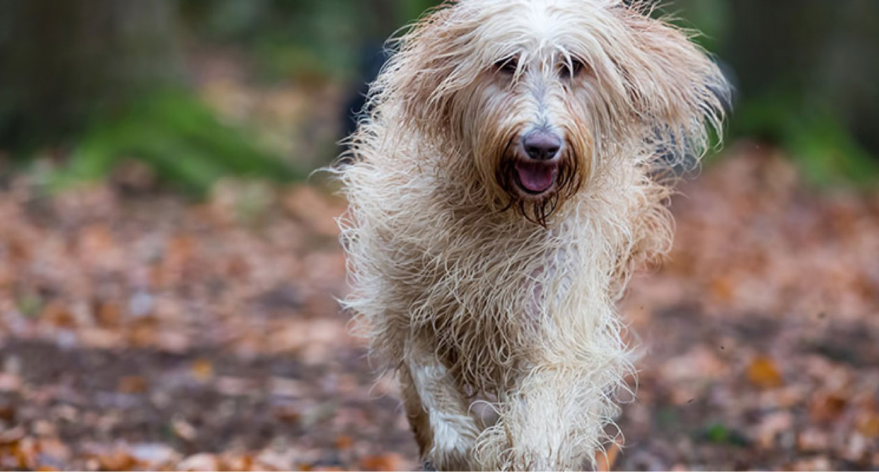 labradoodle running through forest