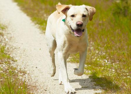 Labrador Walks Down A Gravel Path In The Sunshine