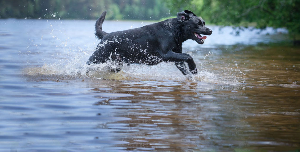 Labradors running in the water