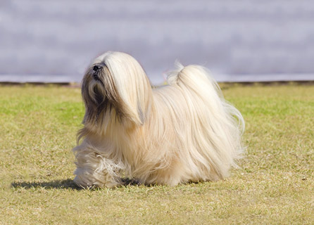 Long Haired Lhasa Apso Strolls Through A Field