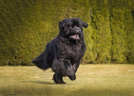 A Black Newfoundland Jogs On A Lawn