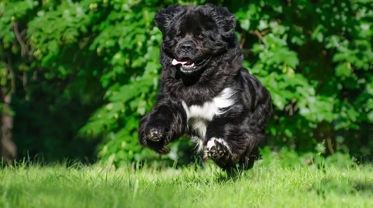 pet insurance breeds newfoundland masthead 1600px