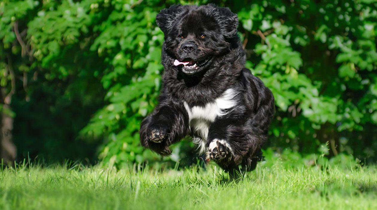 pet insurance breeds newfoundland masthead 1600px