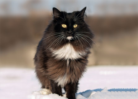 Norwegian Forest Cat Stands In Shallow Snow