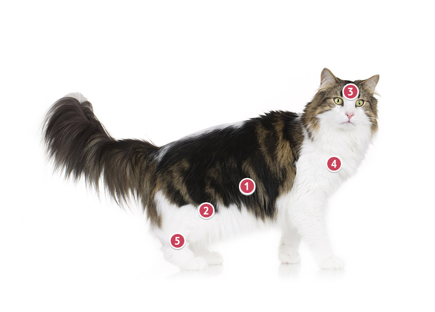 Norwegian Forest Cat with Himalayan Pattern