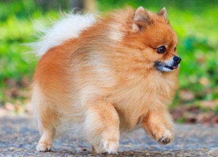 Pomeranian Begins Trotting On Pebble Path
