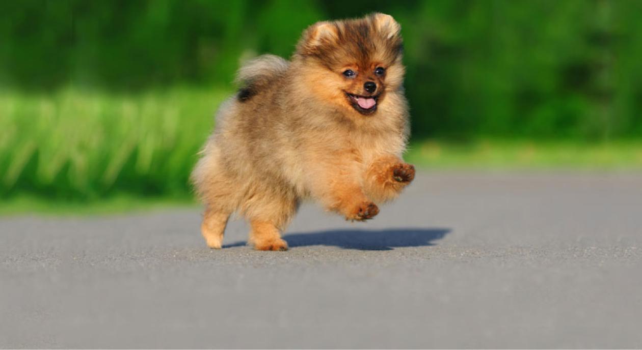 Pomeranian running through garden