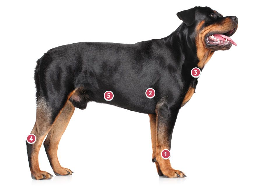 Black And Mahogany Rottweiler Looking On With Tongue Out