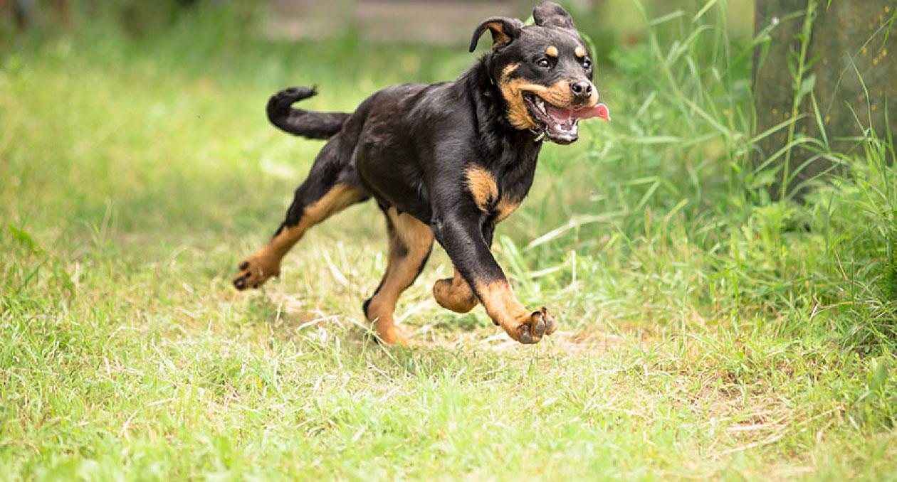 Rottweiler running through forest