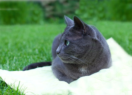 A Russian Blue Cat Laying On A Pillow In A Garden