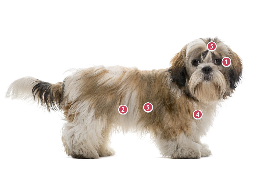 A Shih Tzu Facing Side On With Head Turned Towards You