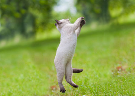 White Siamese Cat Leaps Into The Air