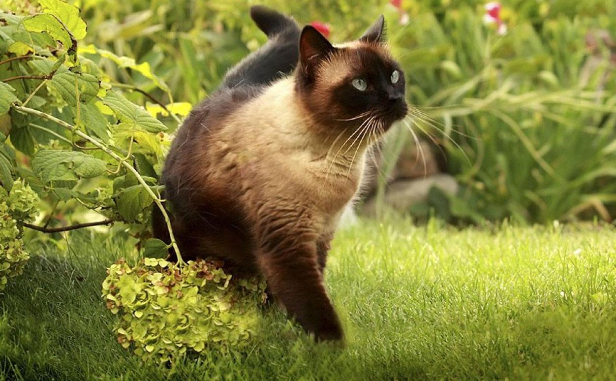 Siamese cat standing on the garden