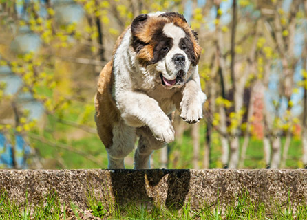 Saint Bernard Dog Leaps Over A Small Wall