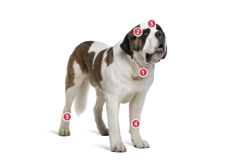 Brown And White St Bernard Dog Looking Directly Ahead