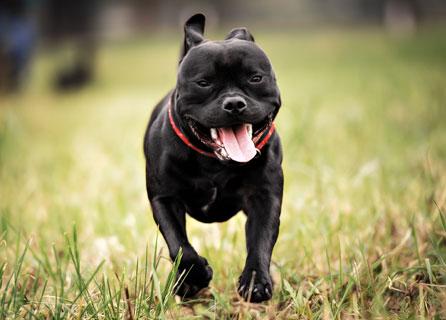 Staffordshire Bull Terrier Puppy Strolls Through Field