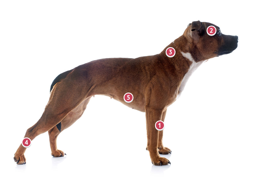 Staffordshire Bull Terrier Side On View